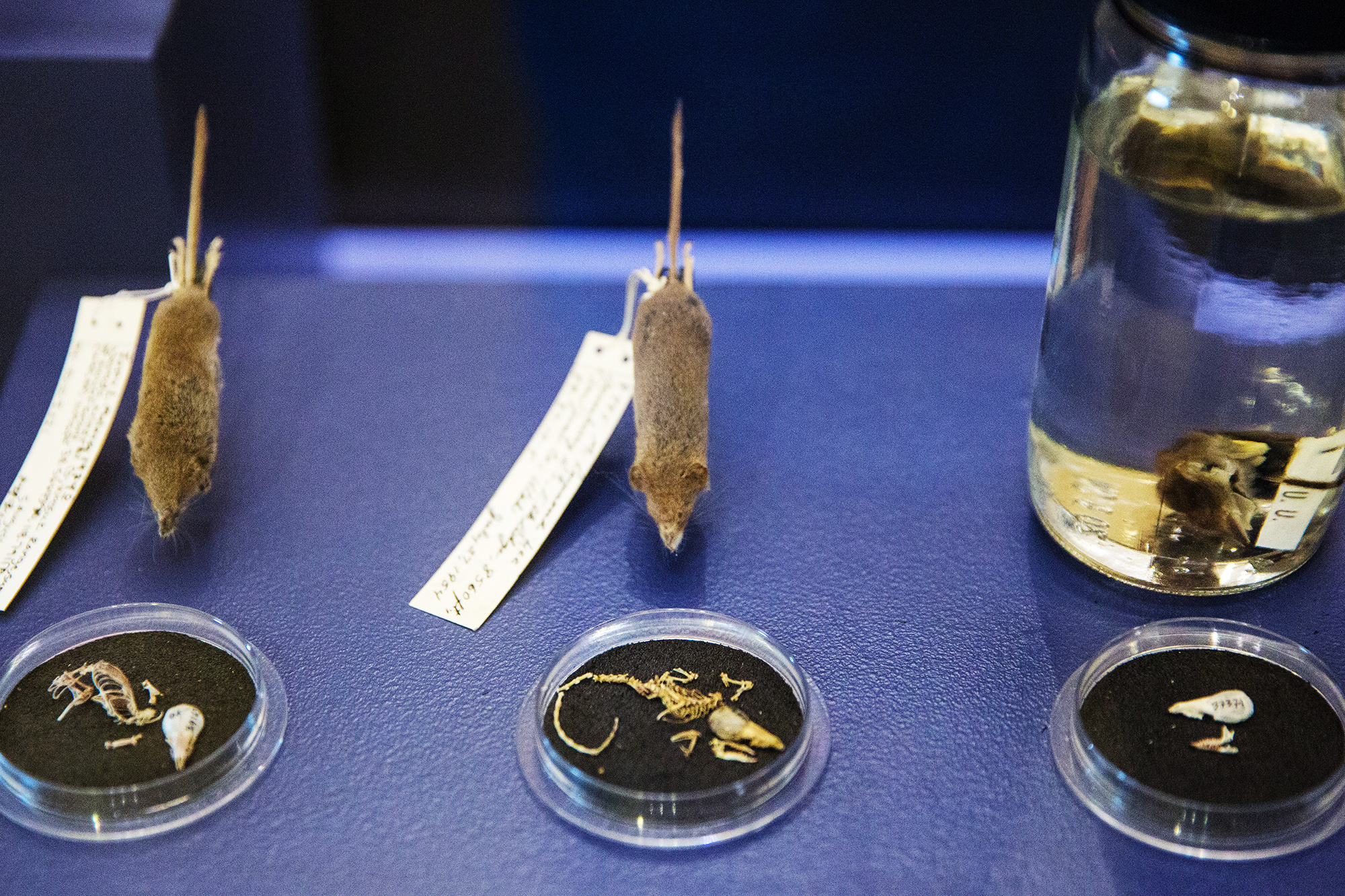 Shrews on display at NHMU.