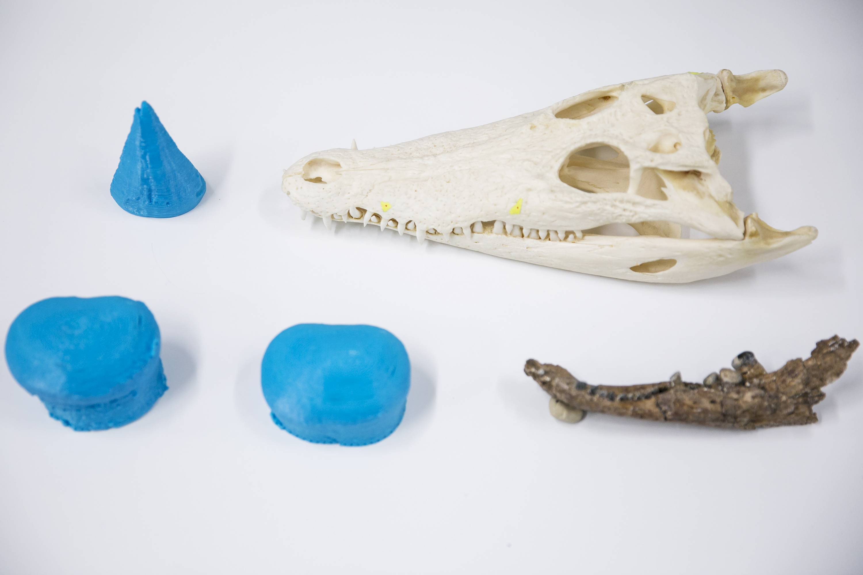 Different shaped 3D printed teeth next to animals each sample belonged to.