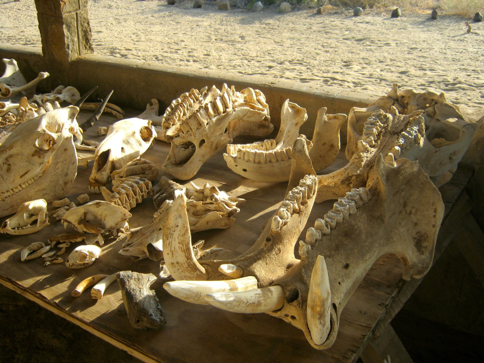 Skulls and teeth from living large-bodied mammals in Kenya, including hippo, black rhino, and elephant .