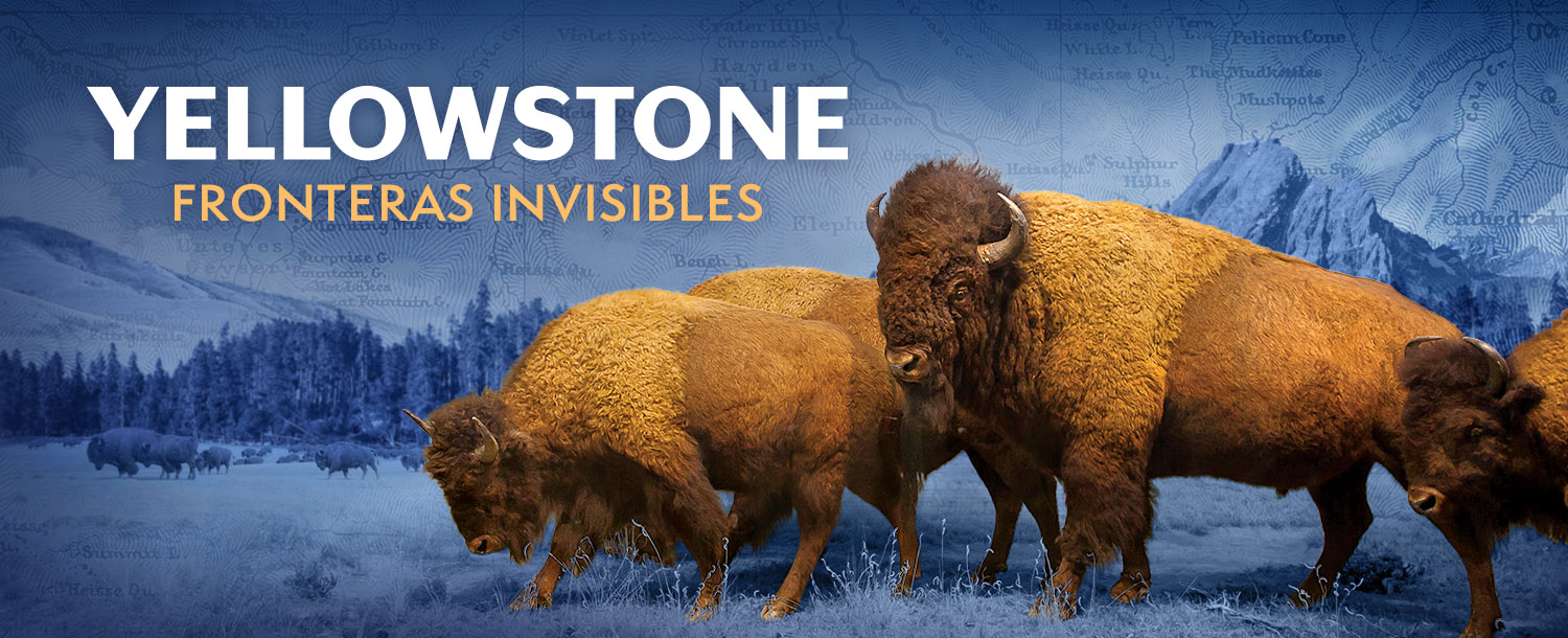 "Bison and the text ""Yellowstone: Fronteras Invisibles"""