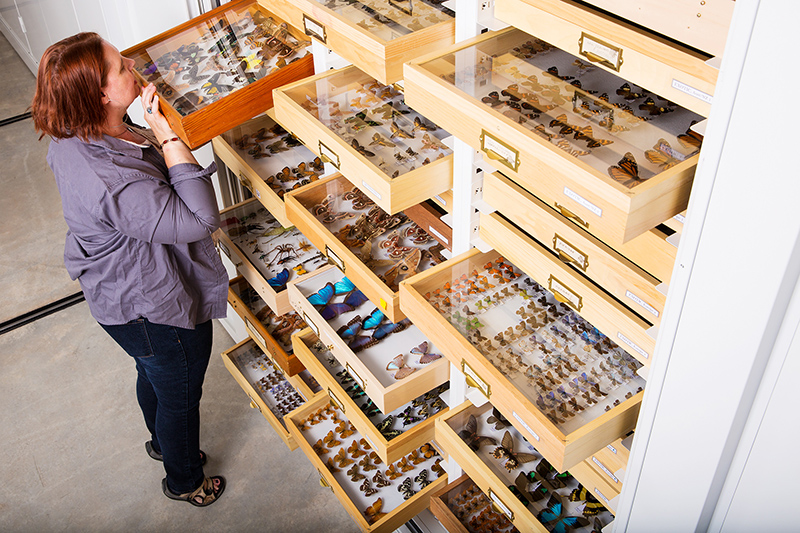 A scientist looks at drawers full of butterflies.
