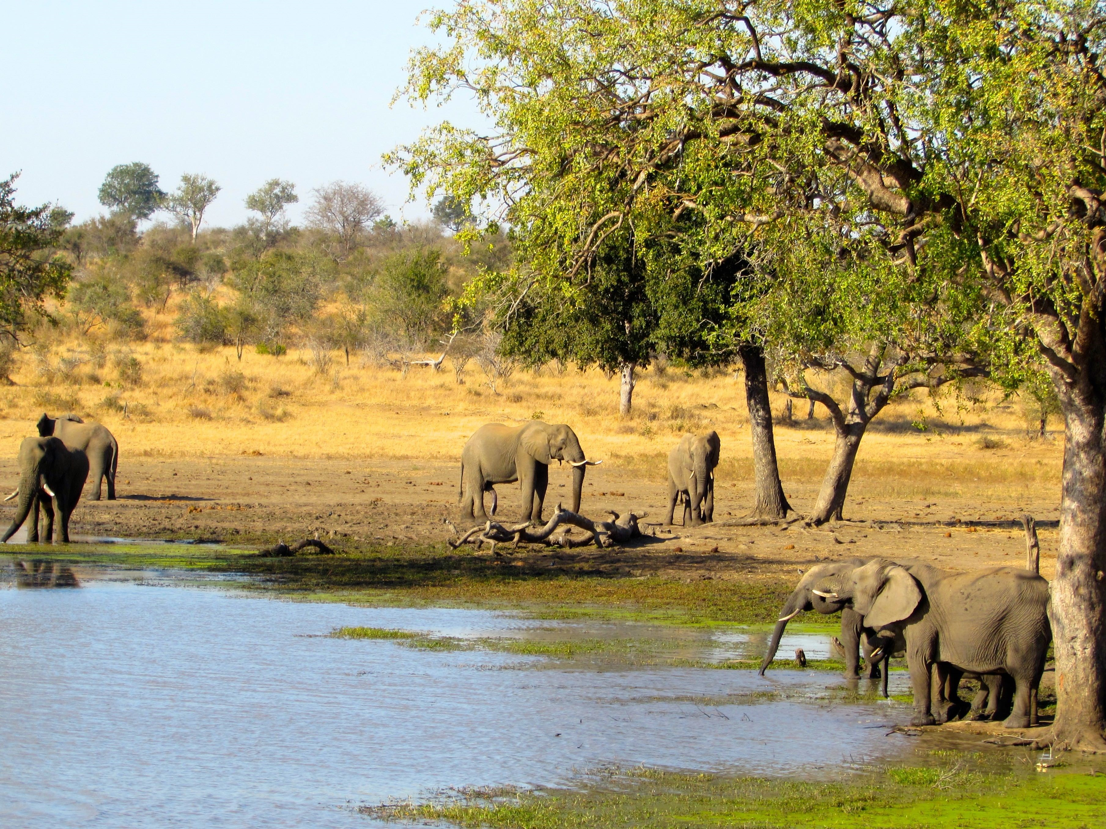 Elephants at a savanna watering hole in Africa.