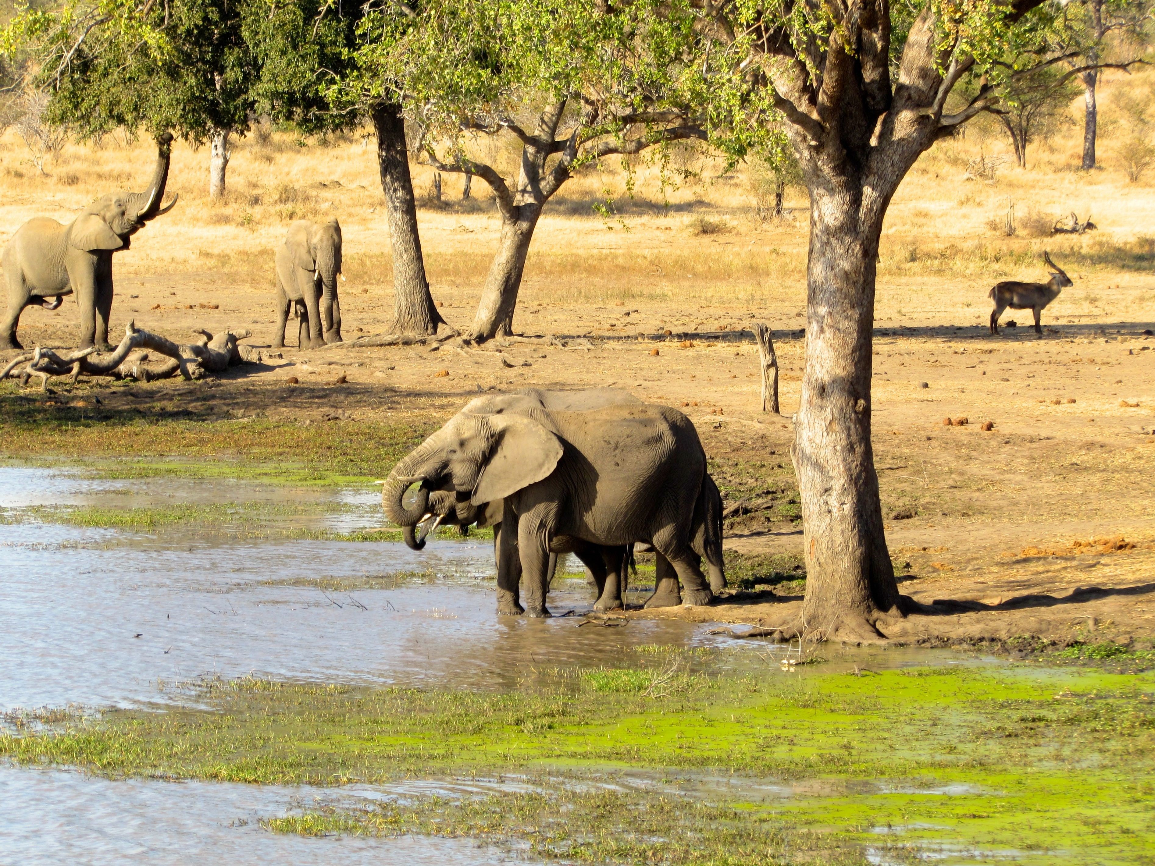 Close up of elephants (Loxodonta africana) at a savanna watering hole in Africa.