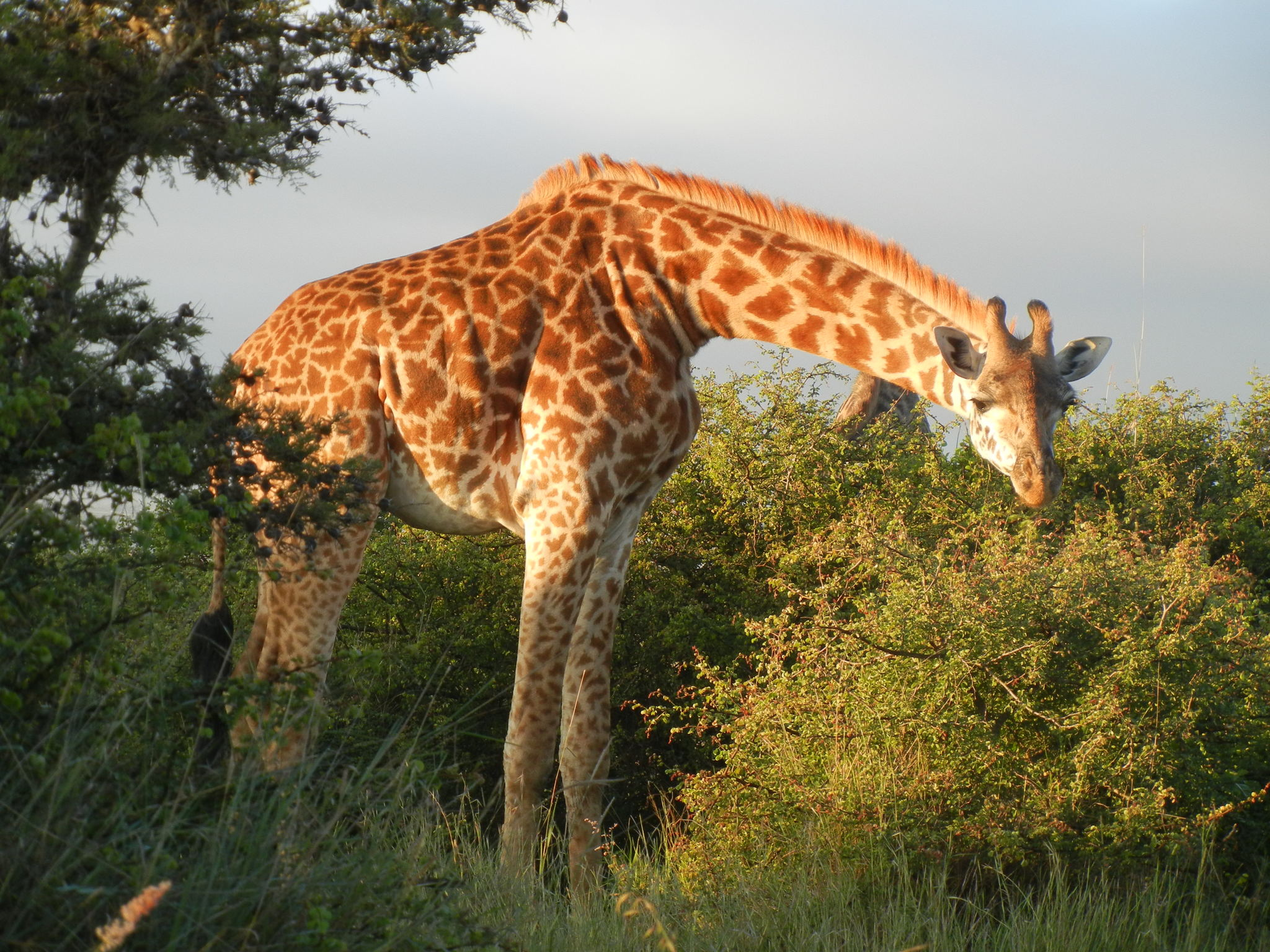 A giraffe browsing among trees in Nairobi National Park, Kenya.