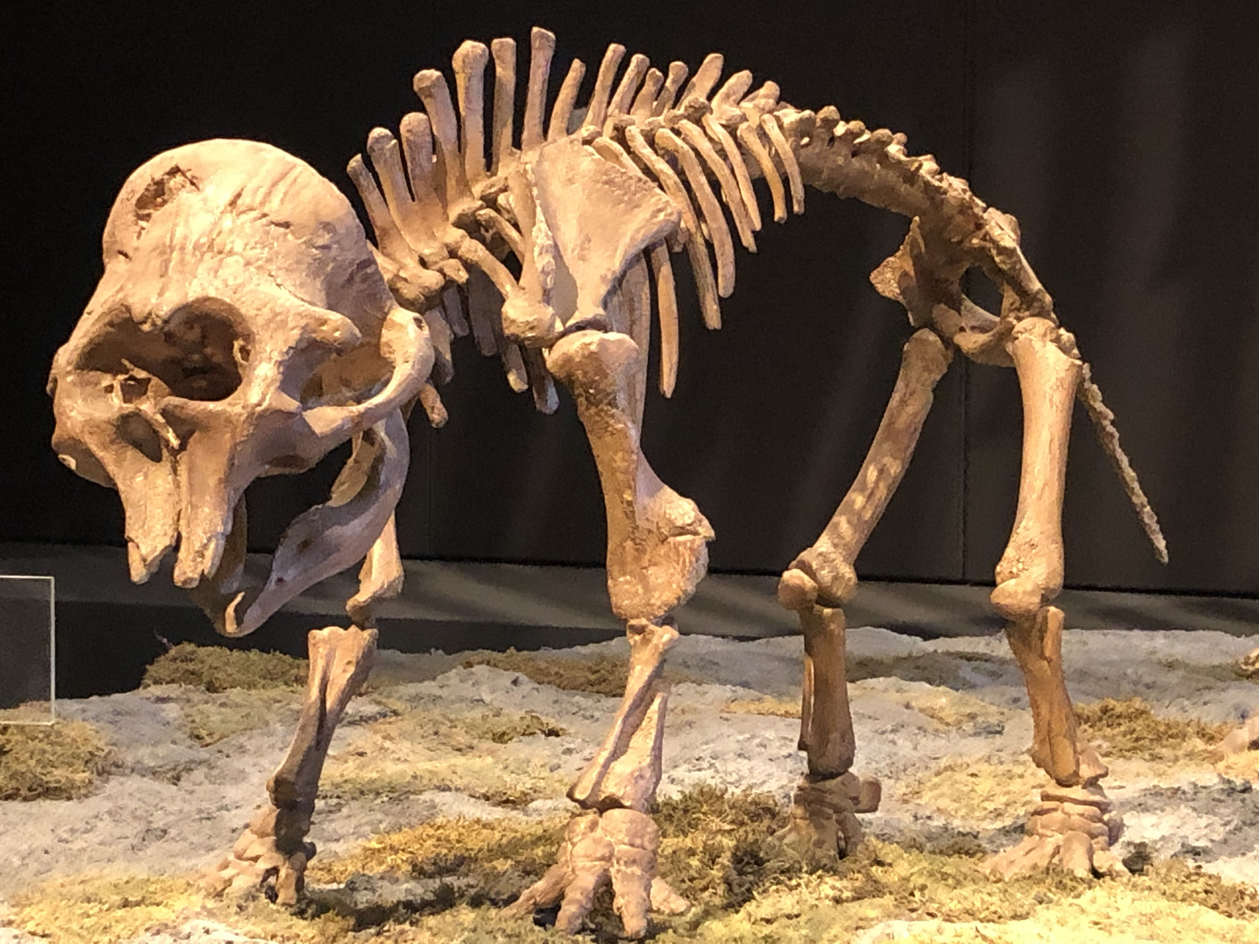 Baby mammoth fossil cast