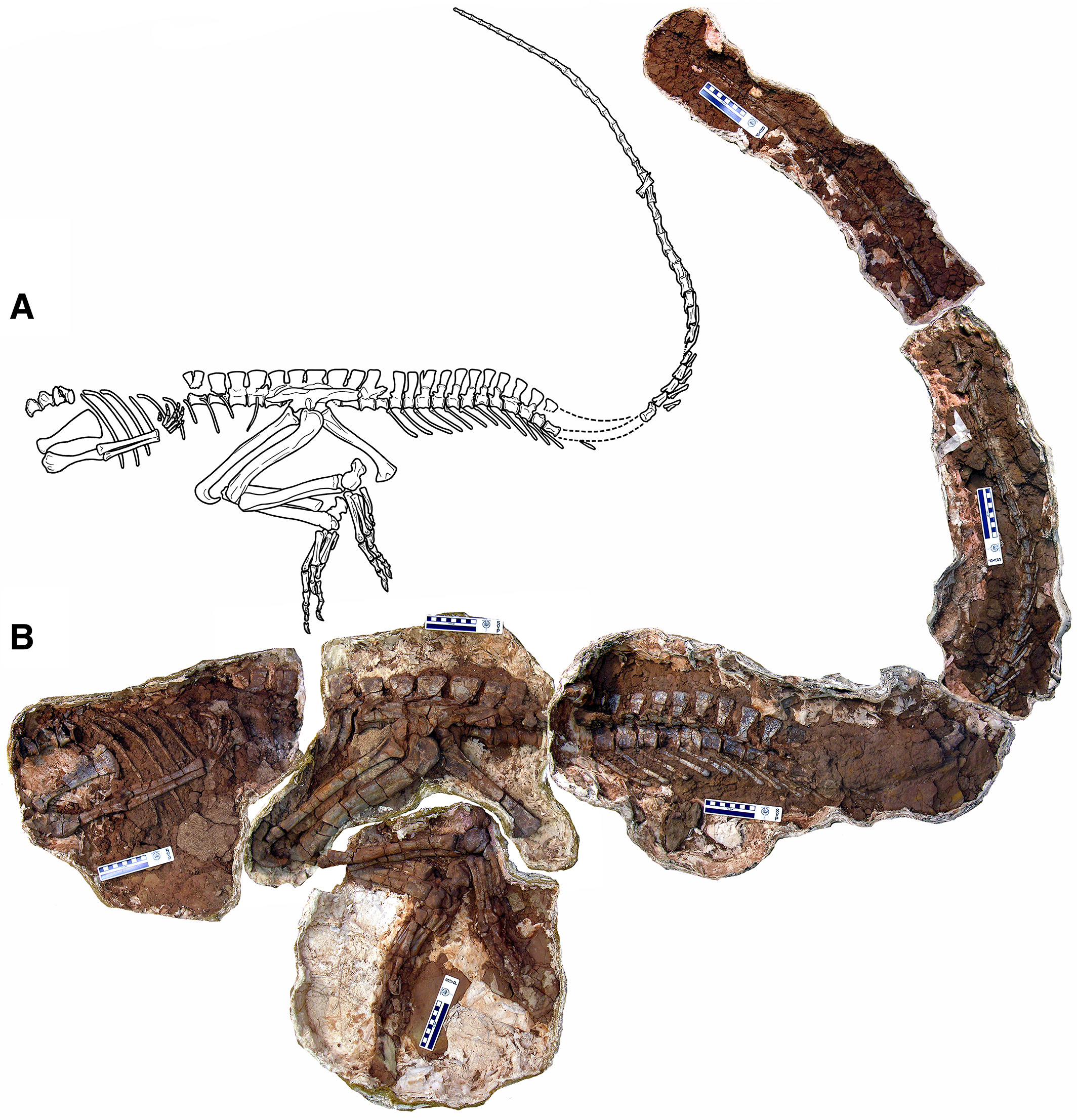 Line drawing (A) and photo (B) of the Poposaurus skeleton (YPM 57100) after excavation.