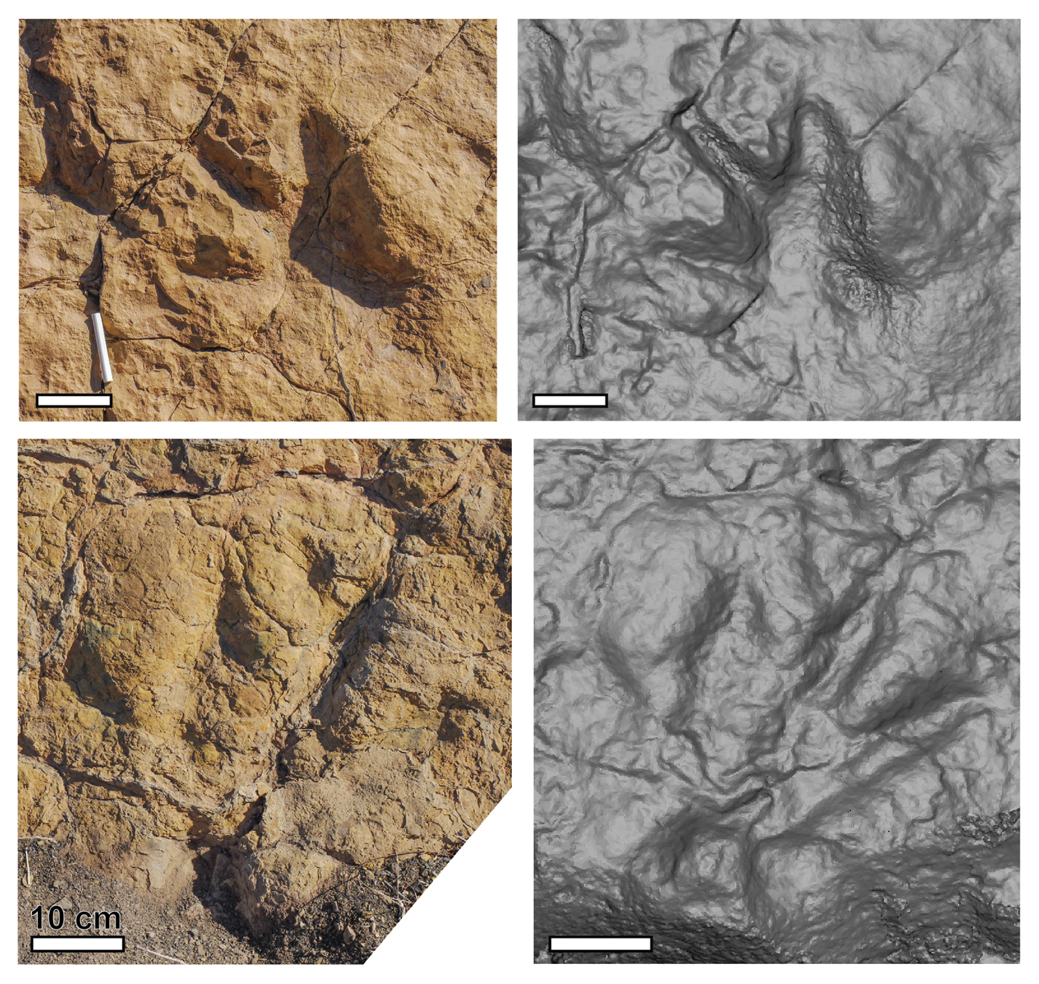 Photos (left) and 3D models (right) of dinosaur-like footprints.
