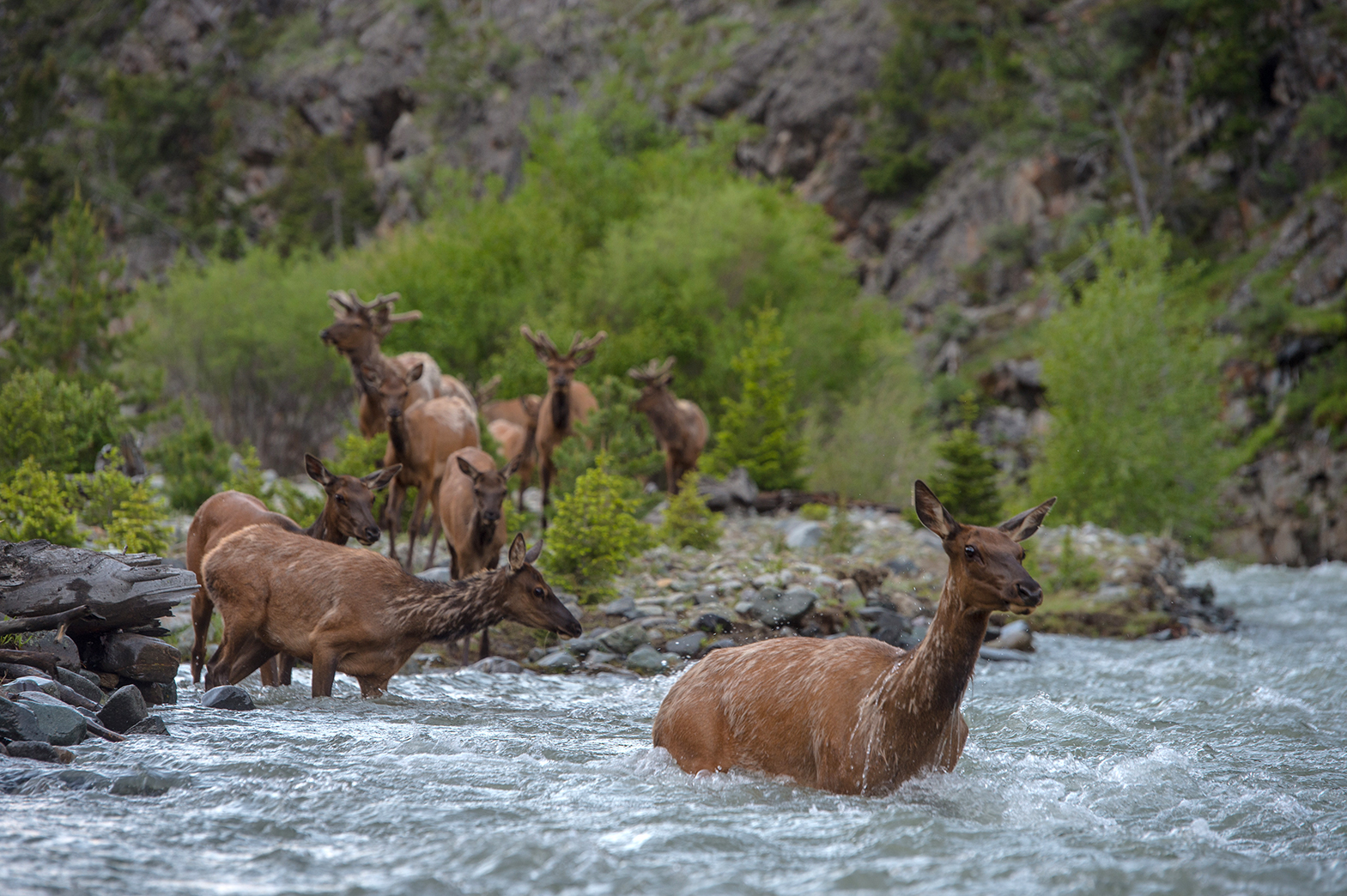 Cow elk leads other elk into the Shoshone River during spring migration.