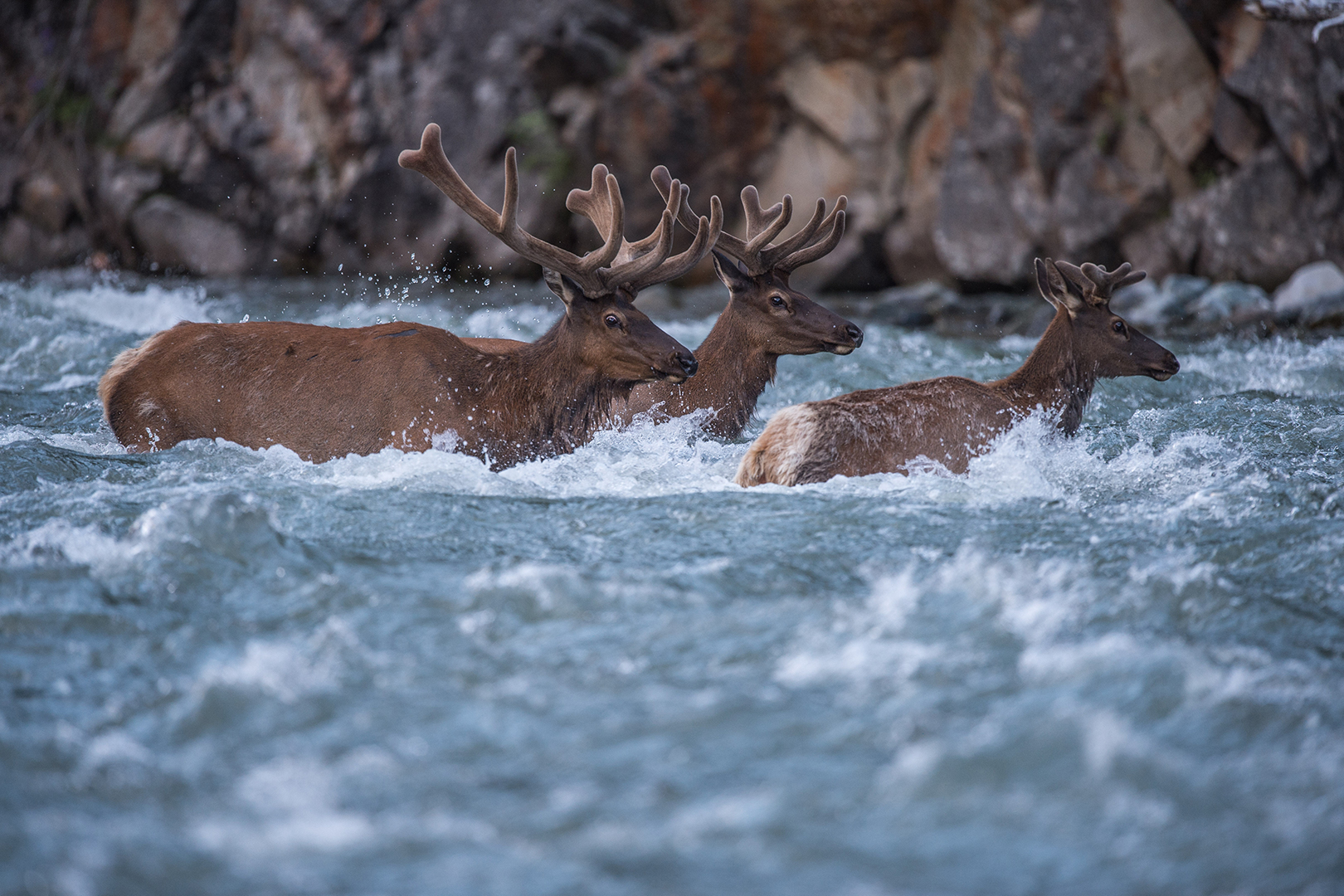 Bull elk crossing the swollen Shoshone River as they migrate towards Yellowstone National Park.