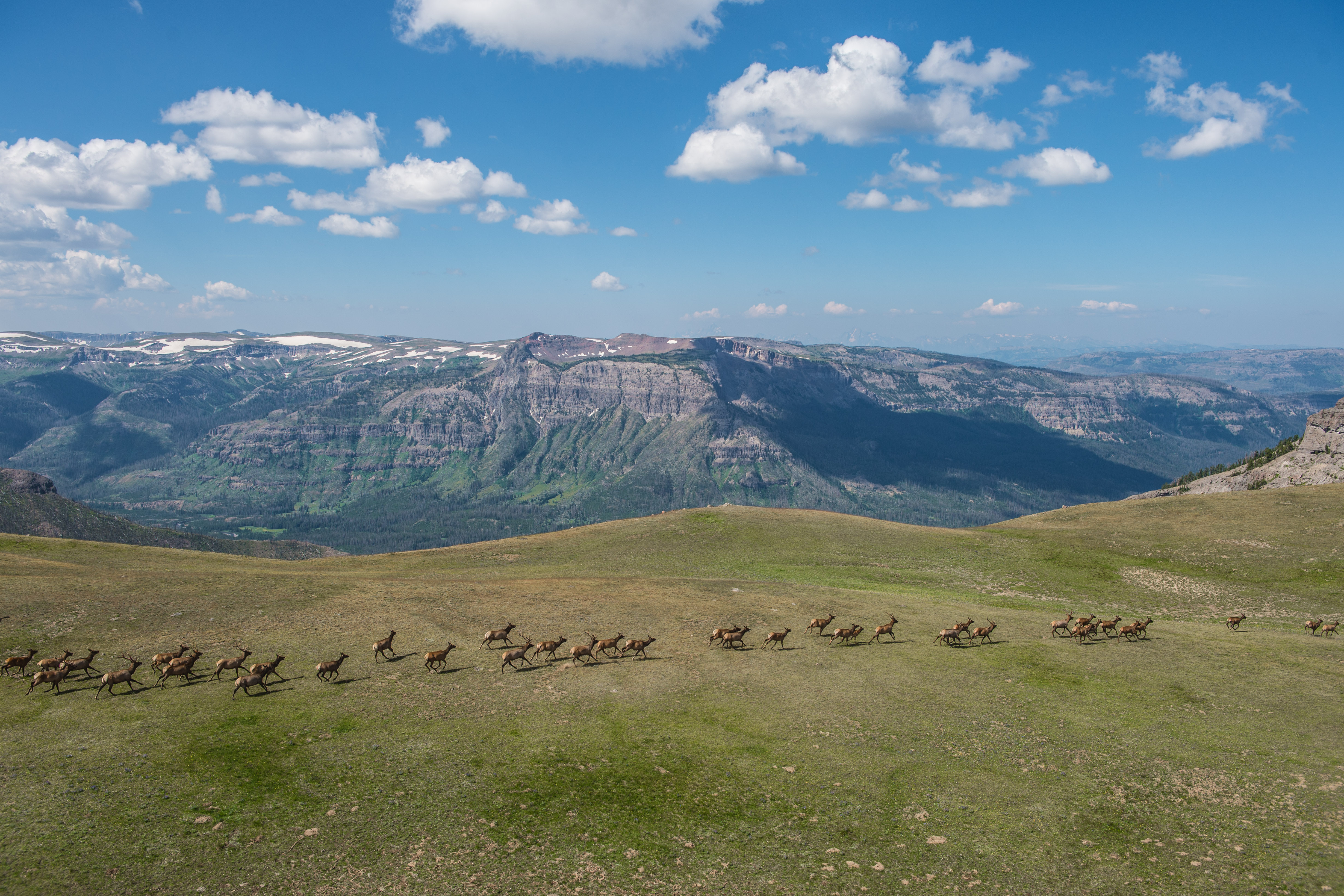 Aerial view of elk running across a high plateau in the Greater Yellowstone Ecosystem