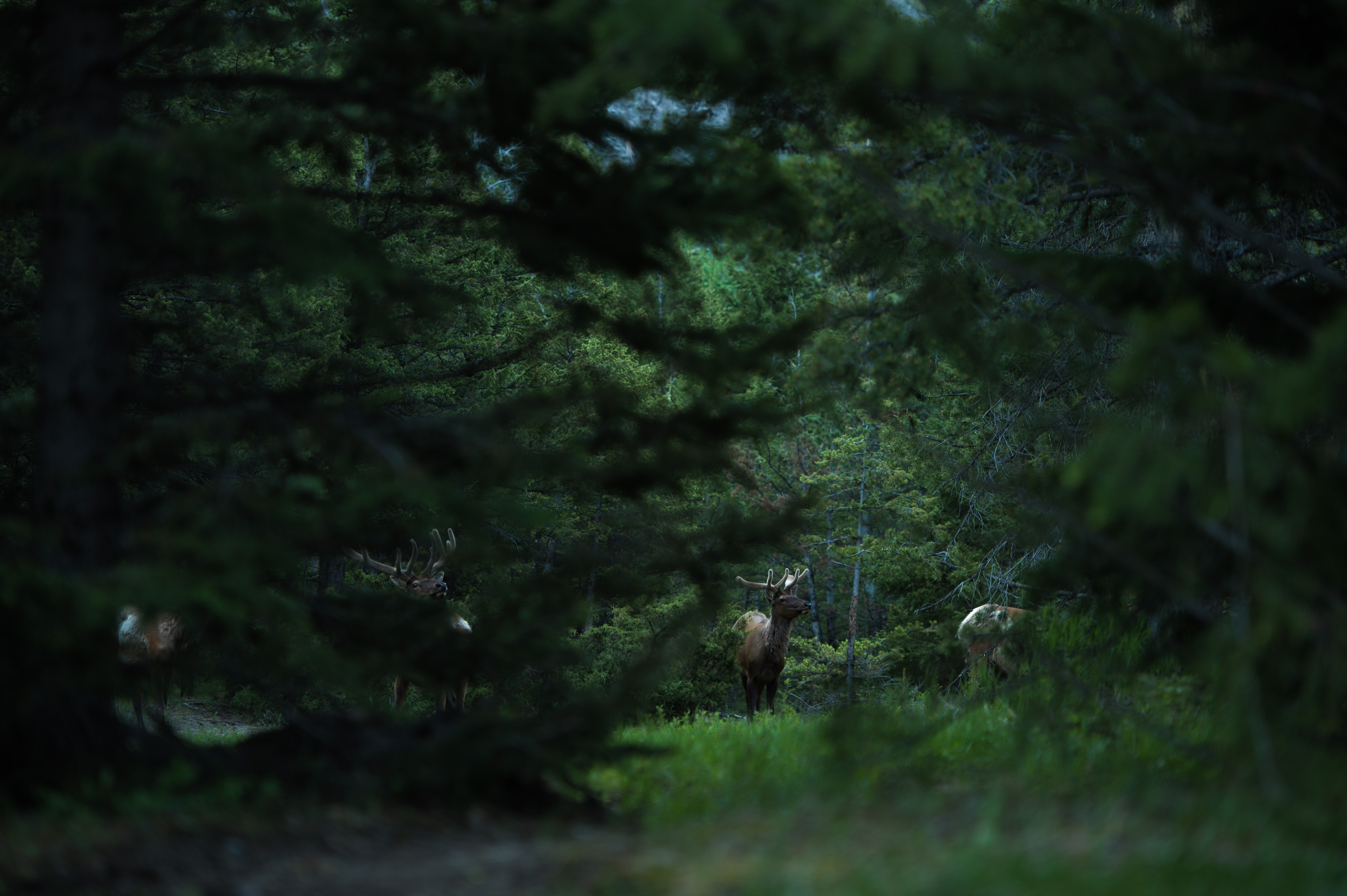 Elk in a thick grove of trees.