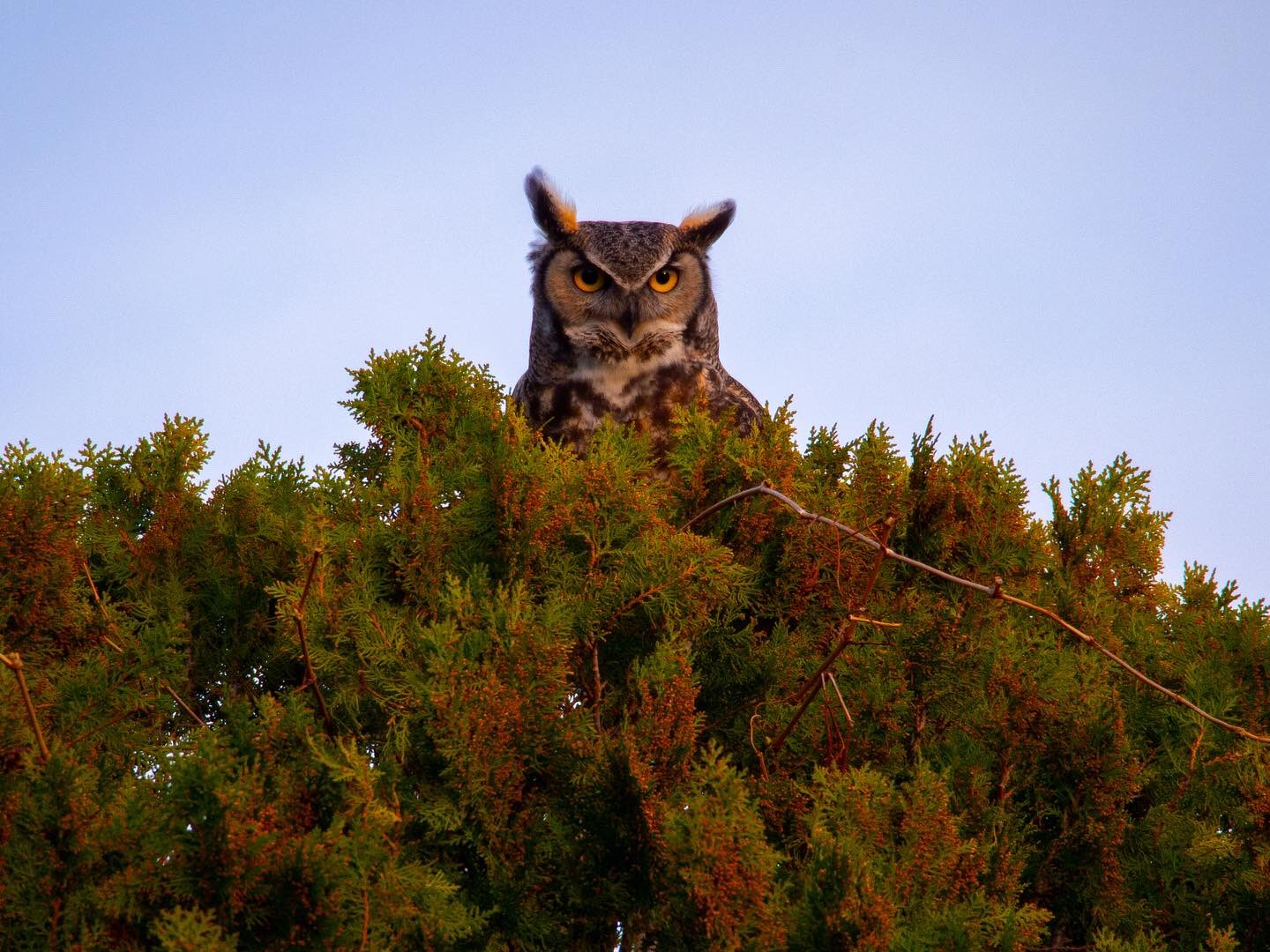 A great horned owl in a tree.