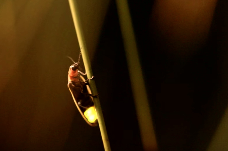 Firefly on plant stem with tail lit up