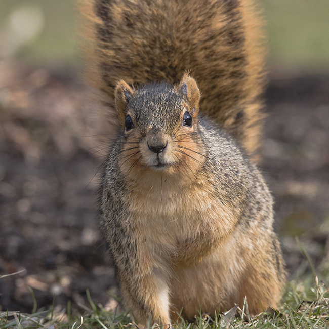 Fox squirrel photo by Corey Lee via Shutterstock.