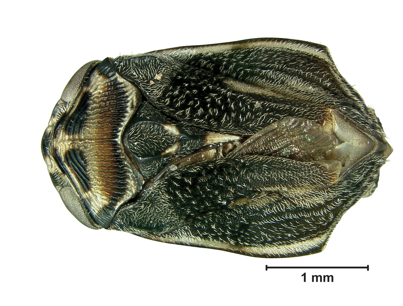 Image of the new species of spittlebug.
