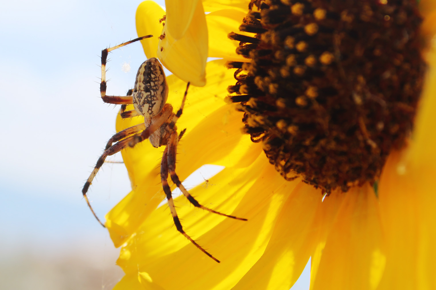 An orb weaver spider on a flower.