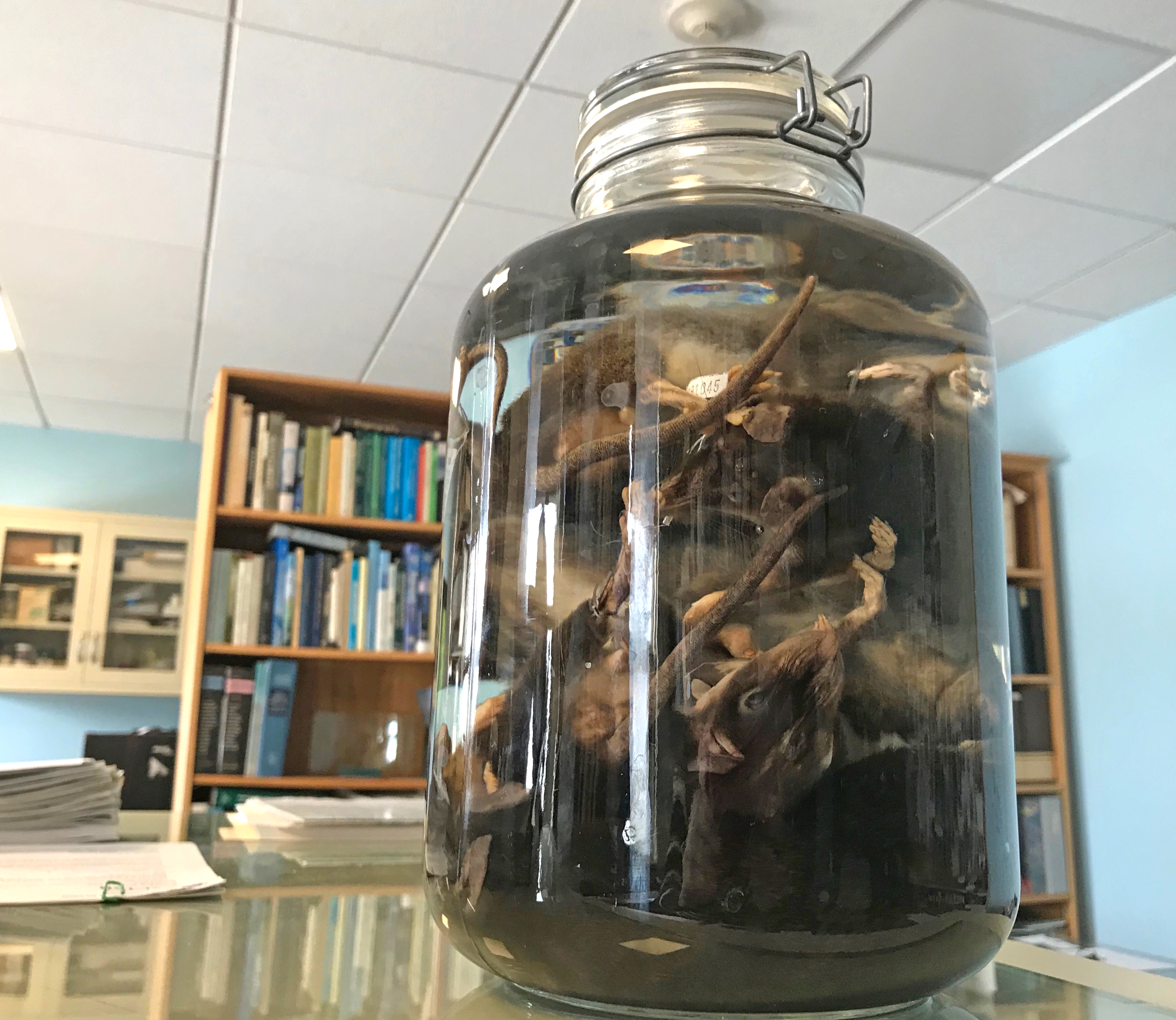 Large bottle of preserved rats