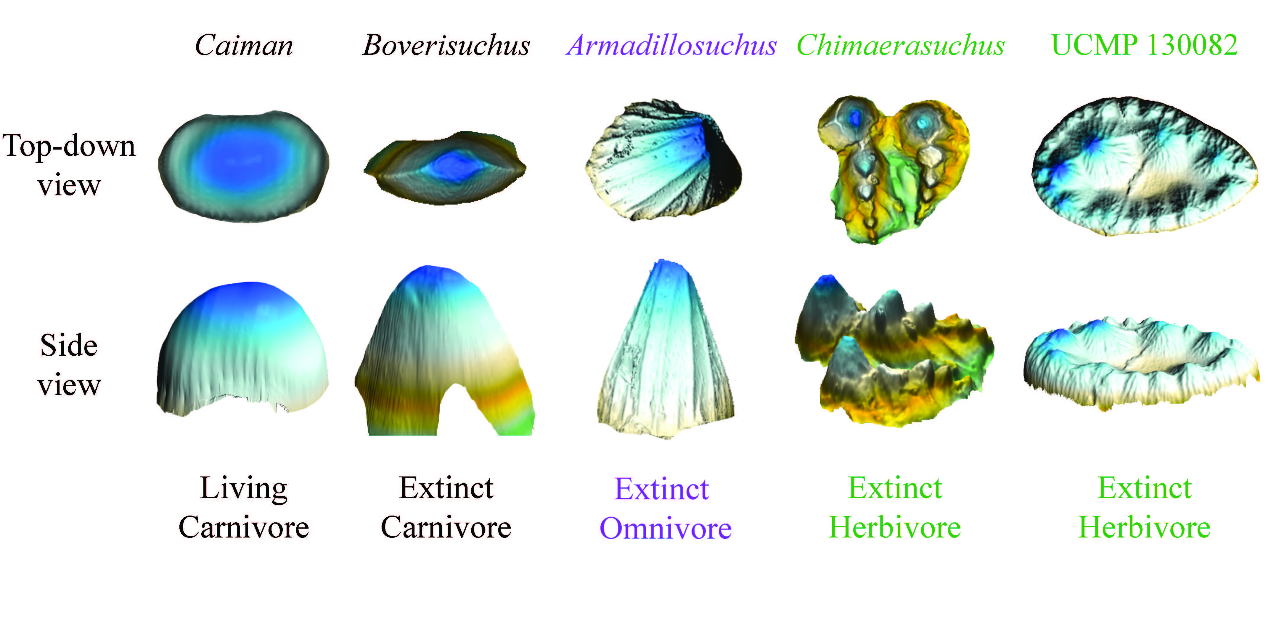 3D Illustrations showing range of teeth shape for crocodyliforms.