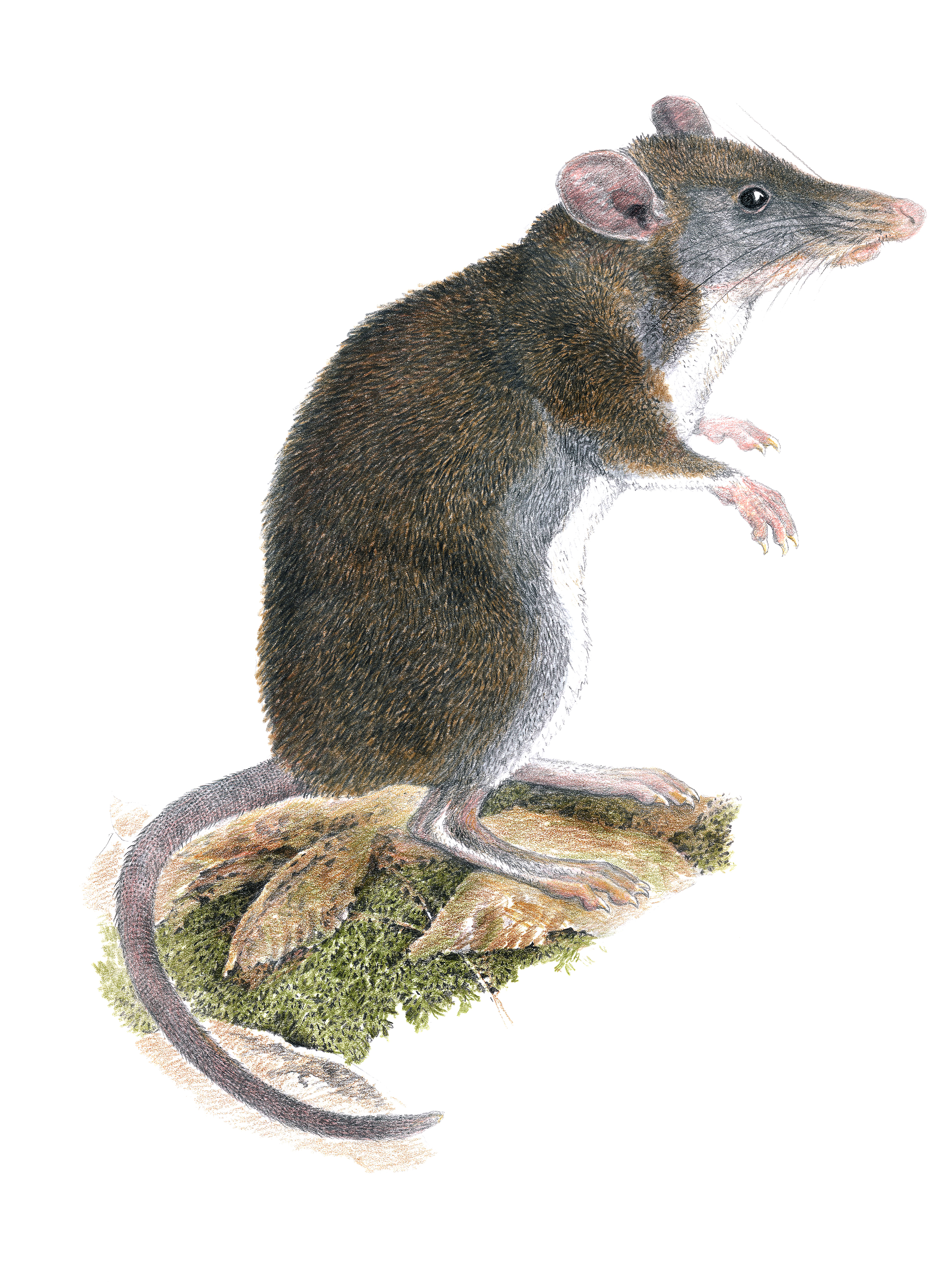 "Color Illustration of a ""tweezer-beaked"" rat."