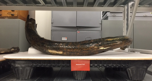 [image] Collections Manager Tip #389: Don't Shellac the Mammoth Tusk