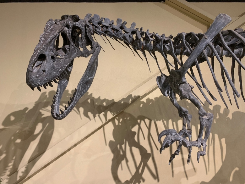 The skeleton of an Allosaurus, a carnivorous dinosaur with short arms and long legs.