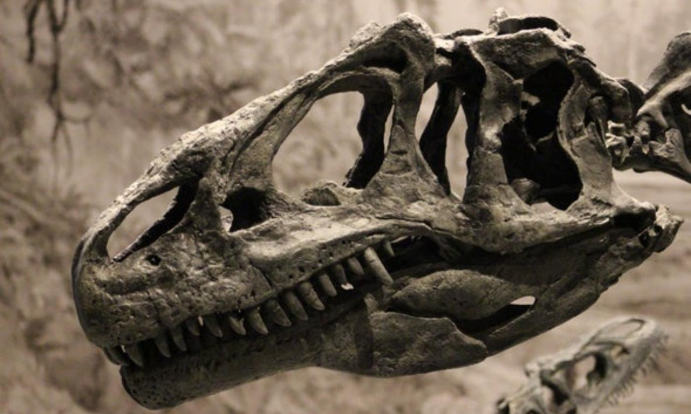 The skull of the Jurassic dinosaur Allosaurus. This carnivore is recognizable by its many sharp teeth, long face, and horns in front of the eyes.