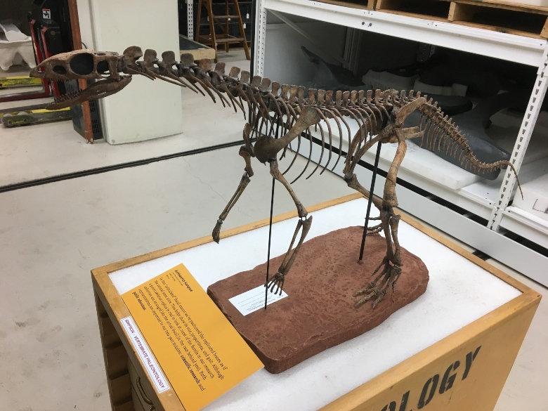The skeleton of a reptile related to the early dinosaurs, with short arms, long legs, and a mouth of leaf-shaped teeth.