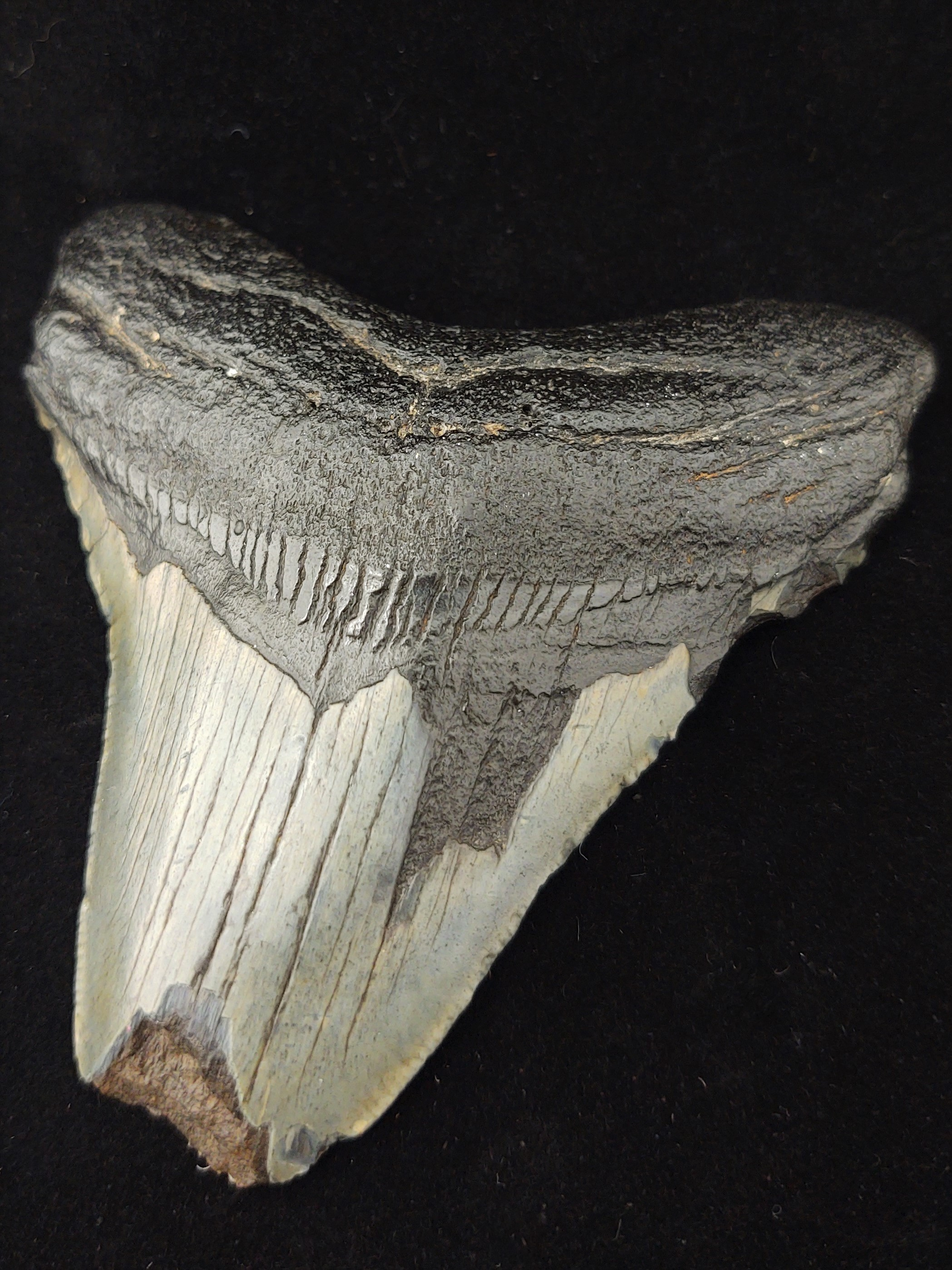 A sharp fossil tooth