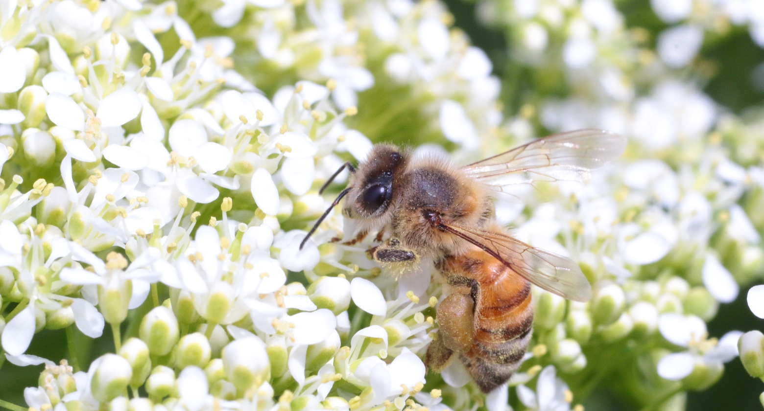 A close-up of a honeybee among a background of white flowers.
