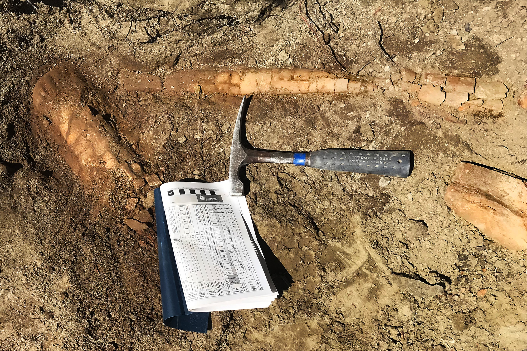 The leg bone fossils in the dirt.
