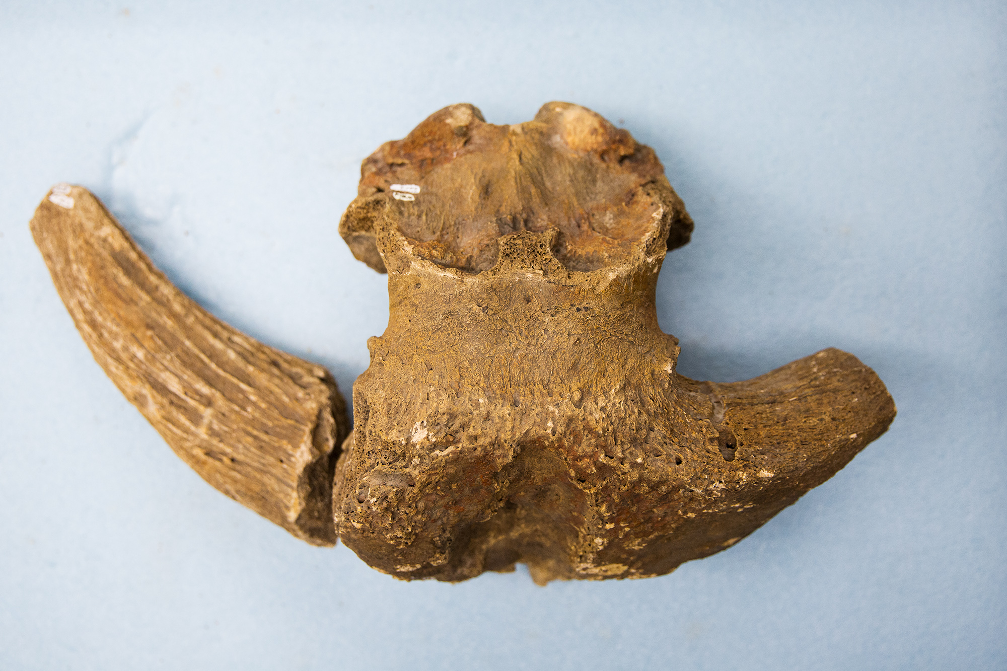photo of musk ox skull, different angle from first image.
