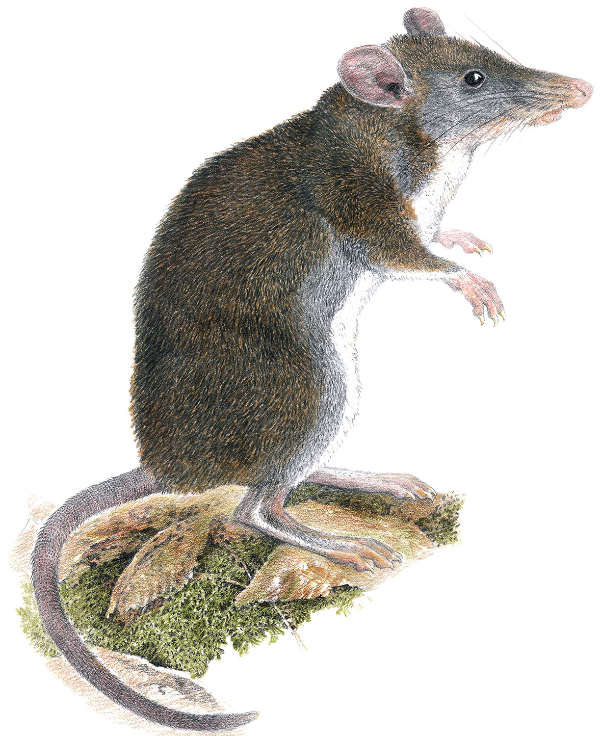 Illustration of newly-described shrew-rat