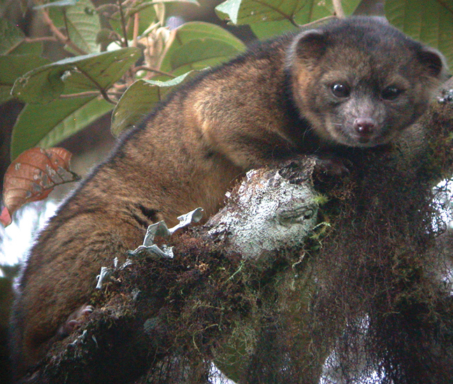 A small, fuzzy mammal in tree branches, related to raccoons but with only brown fur.