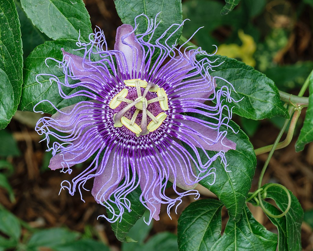 A close up of a passionflower bloom, with purple petals and yellow tendrils.