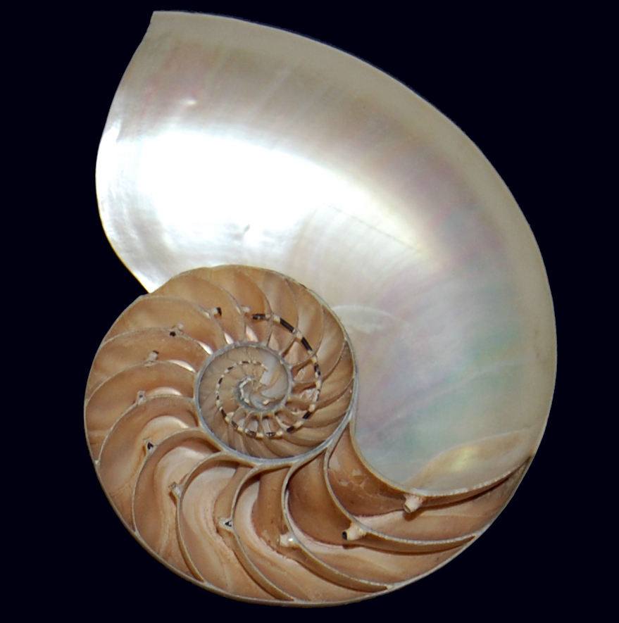 A cutaway view of a shell.