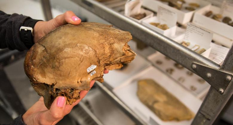 Photo of ancient camel's fossilized skull held by the NHMU collections manager. Only her hands are visible.