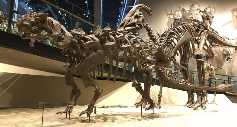 A reconstructed skeleton of the armored dinosaur Akainacephalus stands in the Past Worlds Gallery.