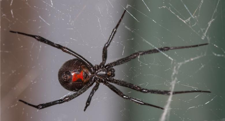 A close-up view of a black-widow spider showing the distinctive red hourglass on the abdomen.