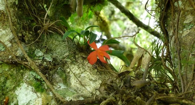 An image of a red flowering plant growing on the branch of a rainforest tree.