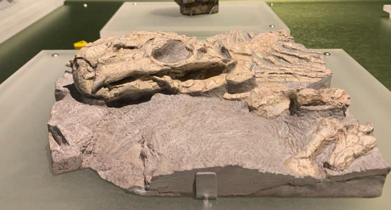 A fossils of a somewhat smushed Lystrosaurus, a protomammal shaped like a pig with a turtle-like face and two tusks jutting from its upper jaw.