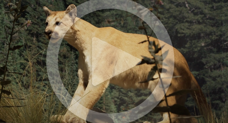 A play icon overlaying an image of a mountain lion