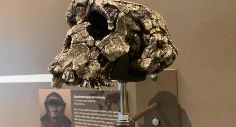A cast of the fossil primate Sahelanthropus, which may be a close relative of ours.