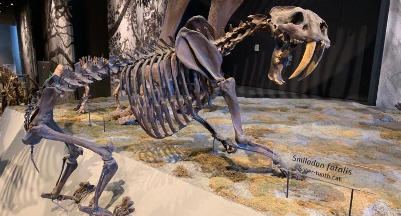 The skeleton of Smilodon, a cat with long, saber-like fangs.