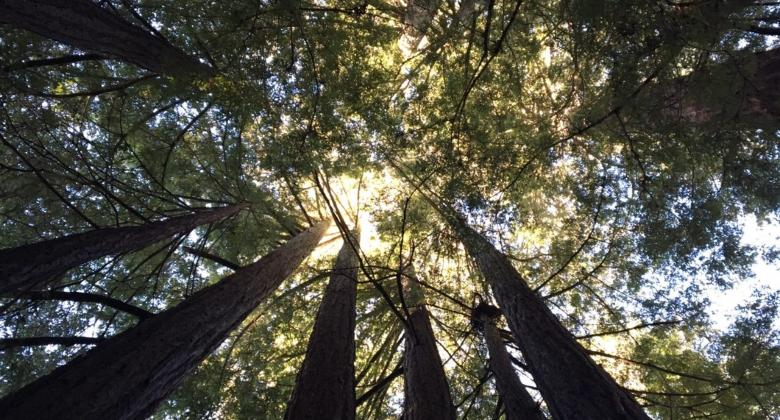 A view looking up at the sun blotted out by the branches of redwood trees in California.
