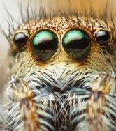 A close up of a spider's eyes.