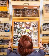 A woman looks at a case of butterflies.