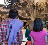 Visitors view dinosaur fossils in a museum.