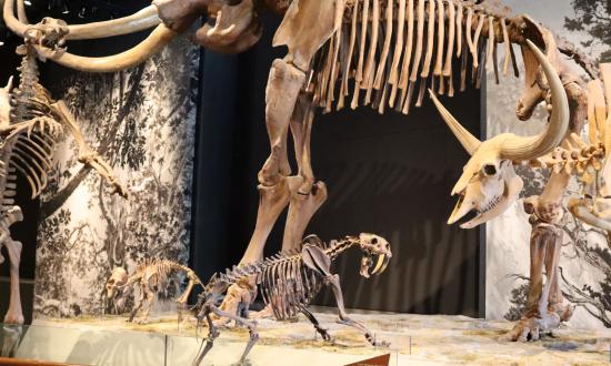 Fossils of Mammoth, baby mammoth, saber tooth cat, and others