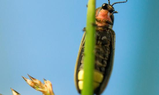 A Utah firefly clings to a plant.