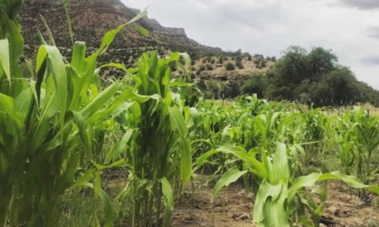 Maize stalks grow in the Range Creek irrigation study.